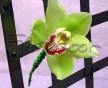 Elegantní korsáž zelené Cymbidium a stočený drátek